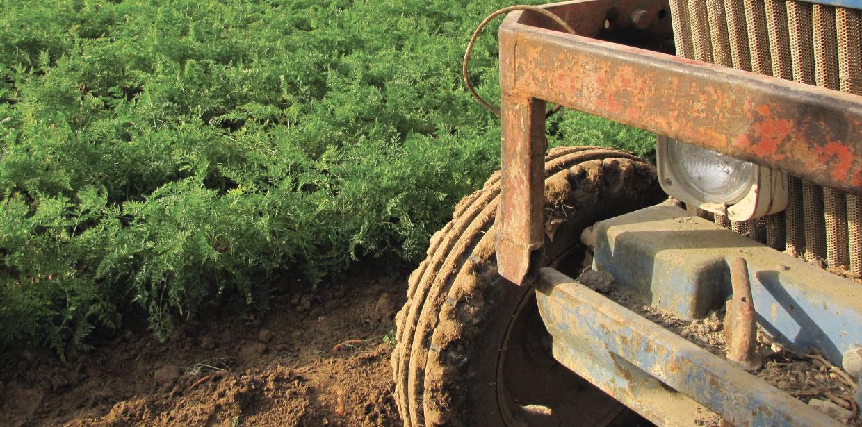 champ carotte - Fort & Vert