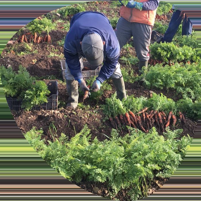 Fort&Vert récolte carotte