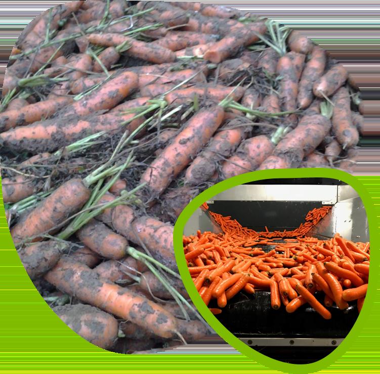 Fort&Vert traitement carotte