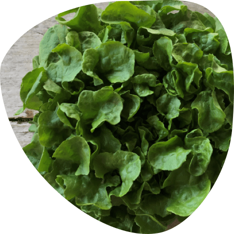 Salade bio - Fort & Vert