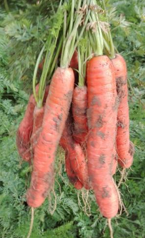 carotte-recette