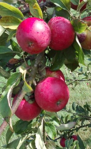 pommes-recette
