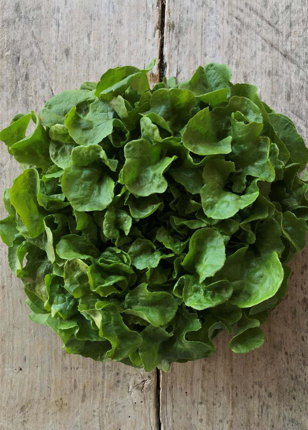 salade-feuille-de-chene